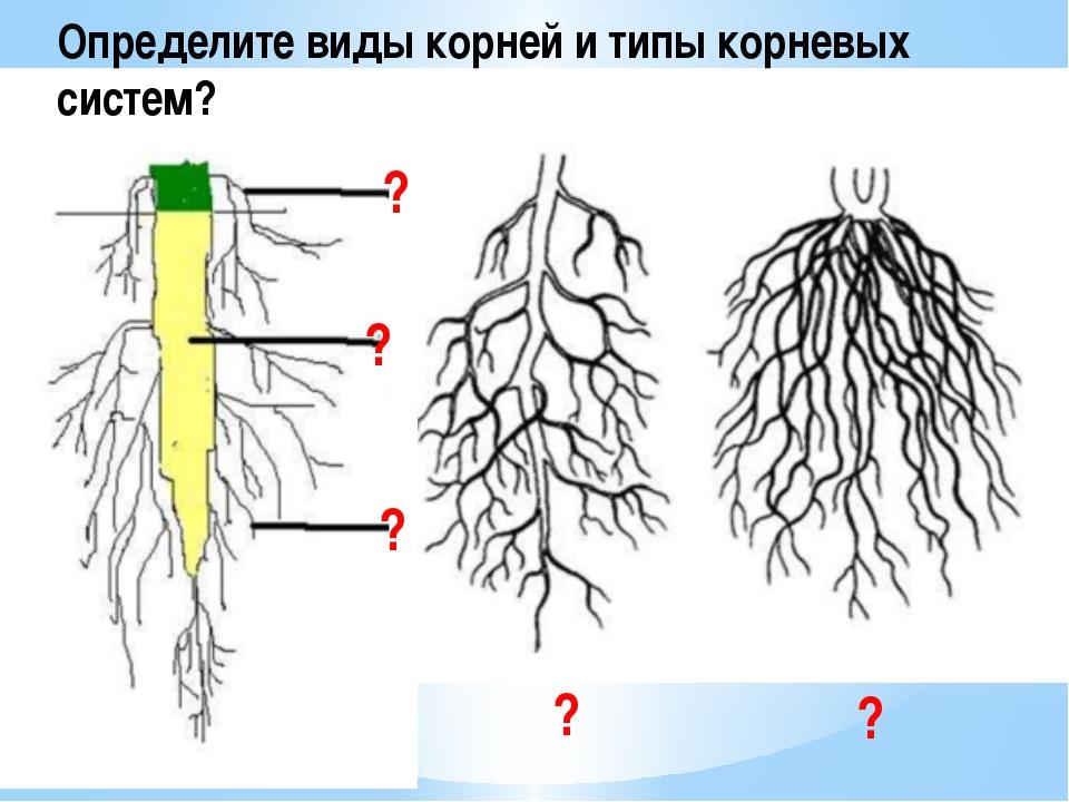 Определите виды корней и типы корневых систем? ? ? ? ? ?