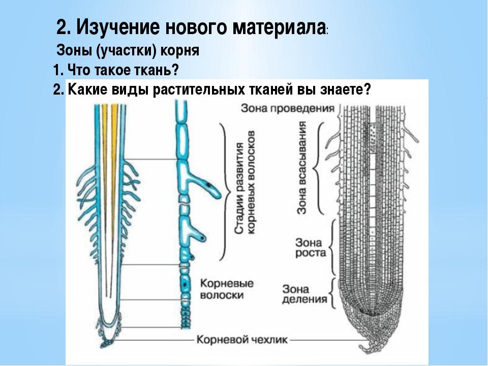 2. Изучение нового материала: Зоны (участки) корня 1. Что такое ткань? 2. Как...