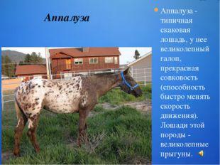 Аппалуза - типичная скаковая лошадь, у нее великолепный галоп, прекрасная сов