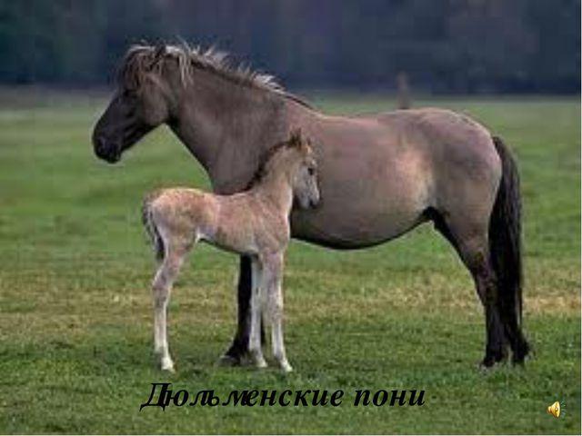Дюльменские пони