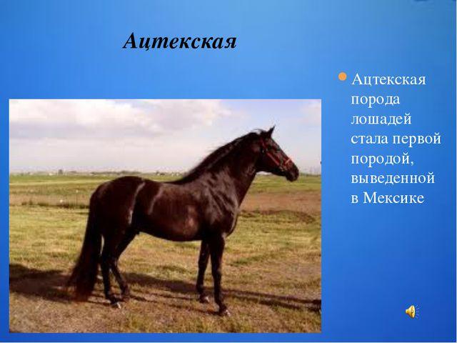 Ацтекская порода лошадей стала первой породой, выведенной в Мексике Ацтекская...