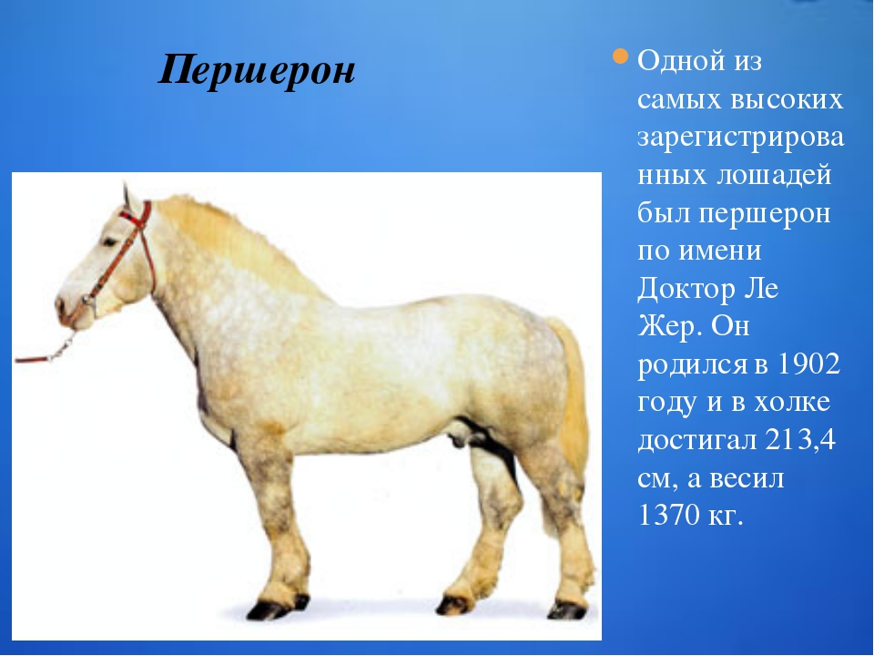 Одной из самых высоких зарегистрированных лошадей был першерон по имени Докто...