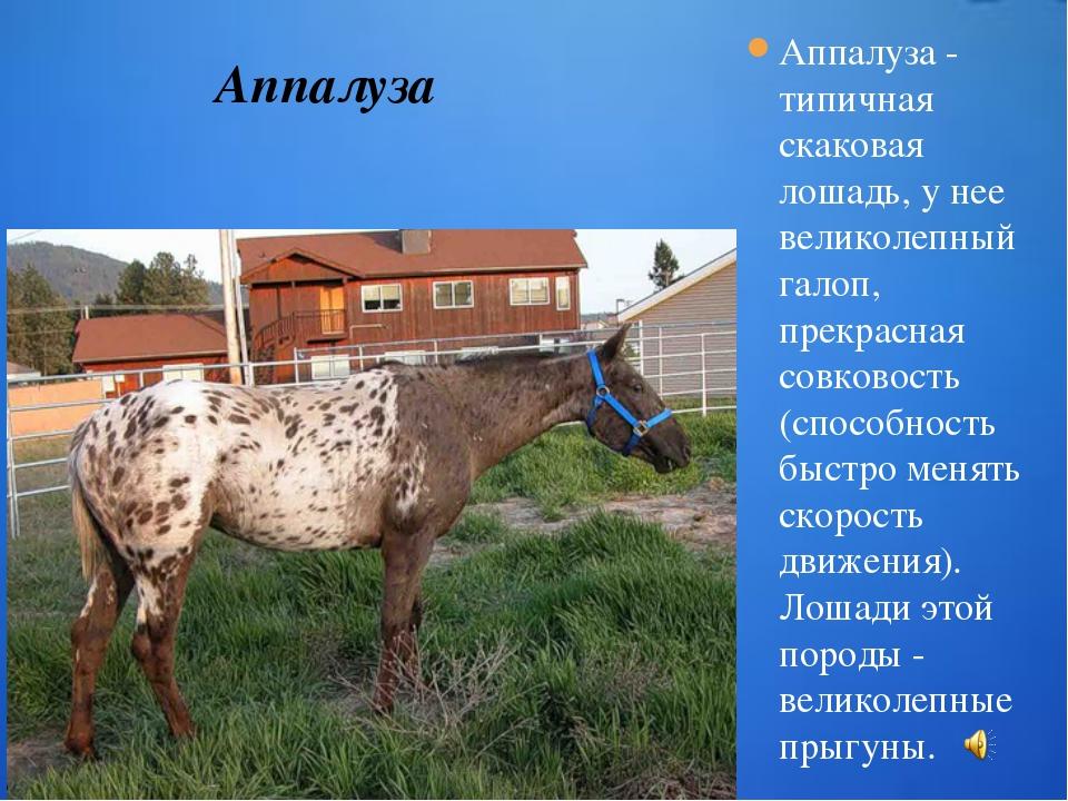 Аппалуза - типичная скаковая лошадь, у нее великолепный галоп, прекрасная сов...