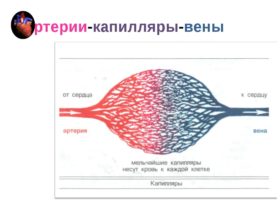 артерии-капилляры-вены