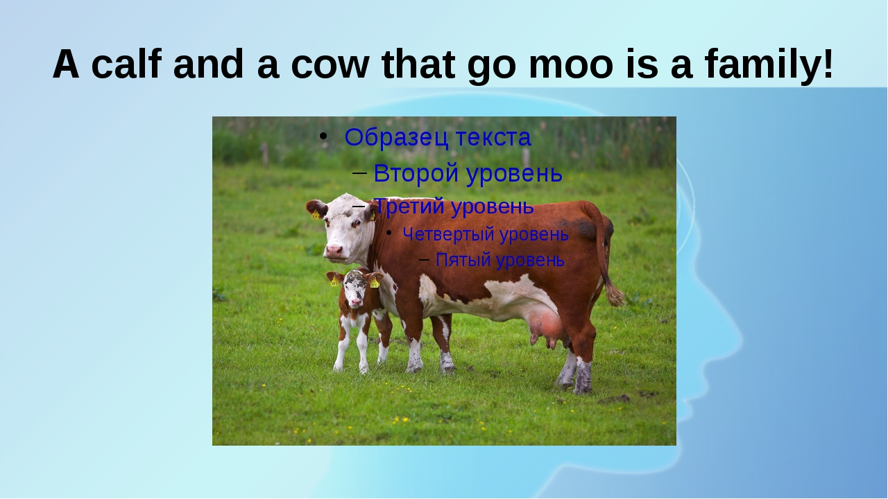 A calf and a cow that go moo is a family!