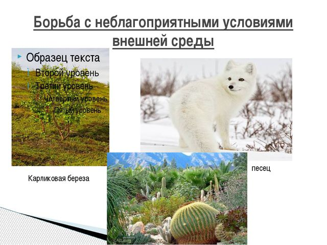Борьба с неблагоприятными условиями внешней среды Карликовая береза песец