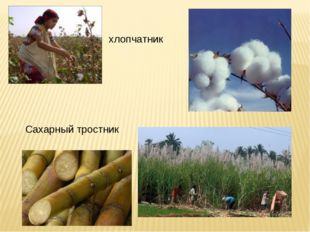 хлопчатник Сахарный тростник