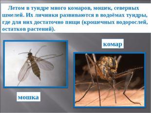 Летом в тундре много комаров, мошек, северных шмелей. Их личинки развиваются