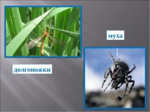 долгоножки муха
