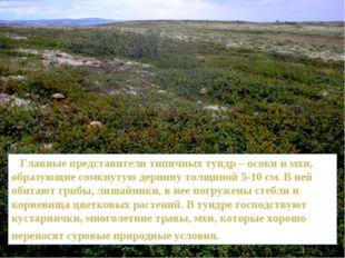 Главные представители типичных тундр – осоки и мхи, образующие сомкнутую дер