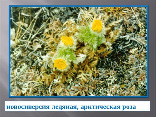 новосиверсия ледяная, арктическая роза