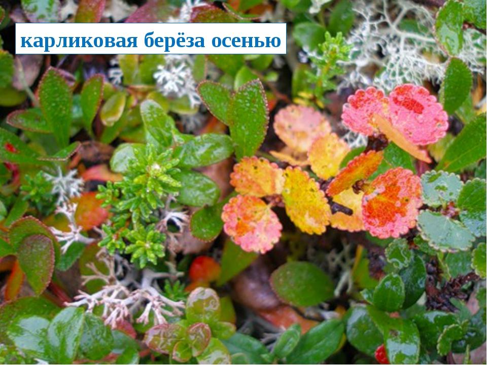 карликовая берёза осенью