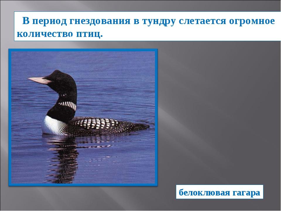 В период гнездования в тундру слетается огромное количество птиц.  белоклюва...