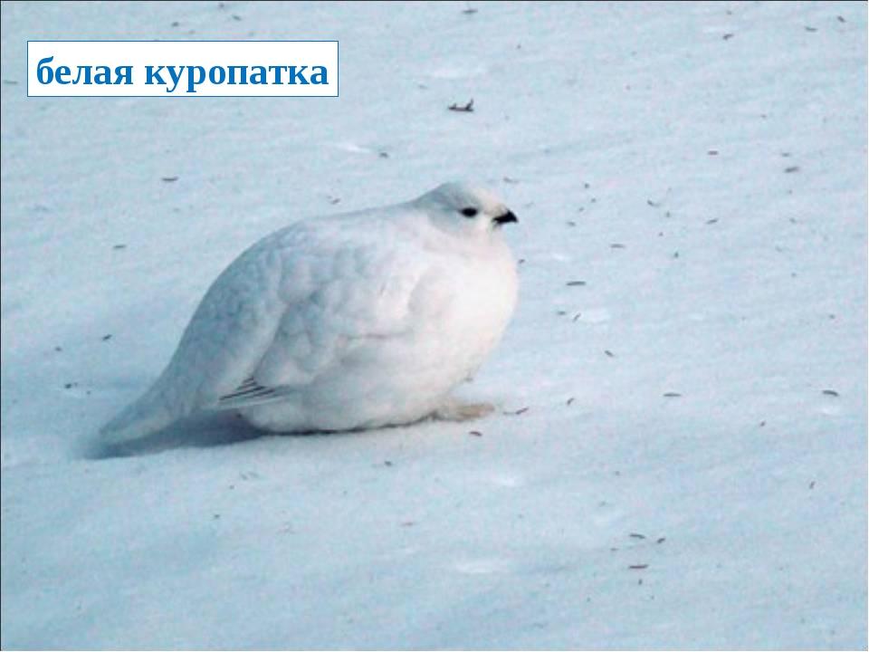 белая куропатка