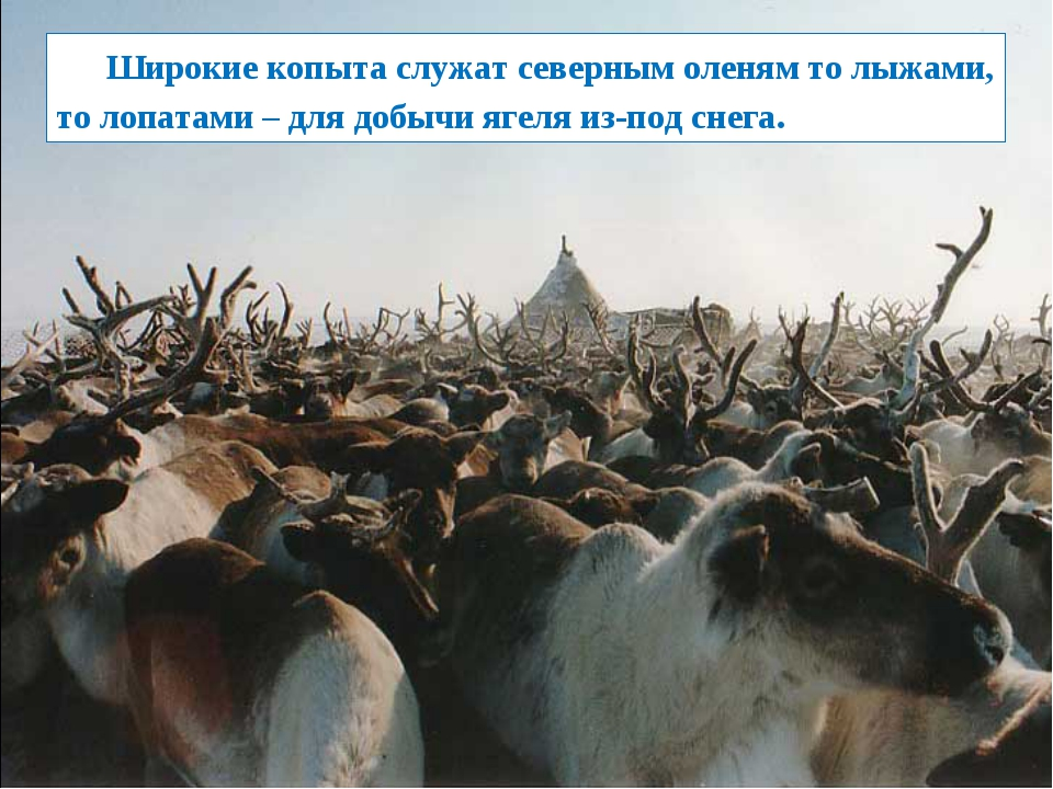 Широкие копыта служат северным оленям то лыжами, то лопатами – для добычи яг...