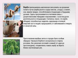 Вербе приписывалась магическая сила влиять на орошение полей и лугов (верба р