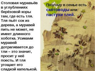Столовая муравьёв в углублениях берёзовой коры там, где есть тля. Тля пьёт со