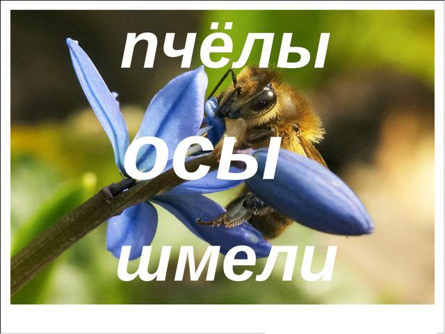 пчёлы осы шмели