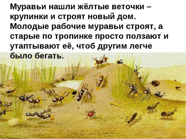 Муравьи нашли жёлтые веточки – крупинки и строят новый дом. Молодые рабочие м...