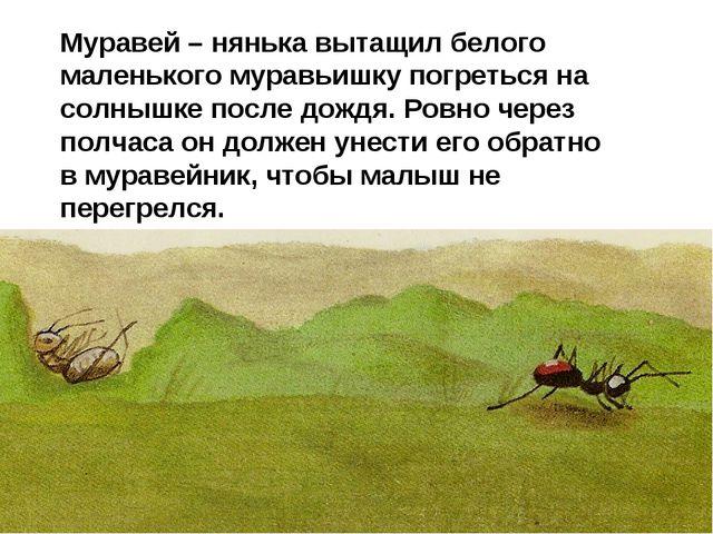 Муравей – нянька вытащил белого маленького муравьишку погреться на солнышке п...