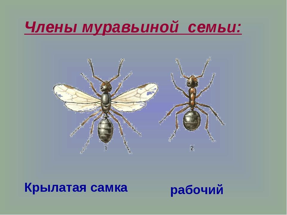 Крылатая самка рабочий Члены муравьиной семьи: