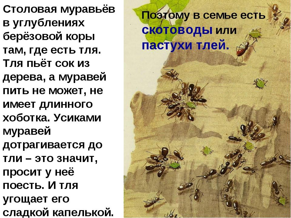 Столовая муравьёв в углублениях берёзовой коры там, где есть тля. Тля пьёт со...