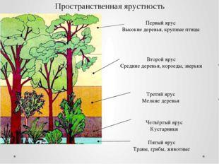 Первый ярус Высокие деревья, крупные птицы Второй ярус Средние деревья, корое