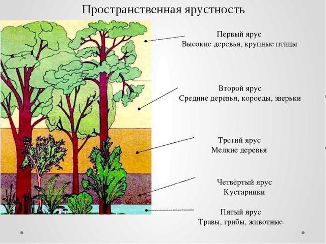 Первый ярус Высокие деревья, крупные птицы Второй ярус Средние деревья, корое...