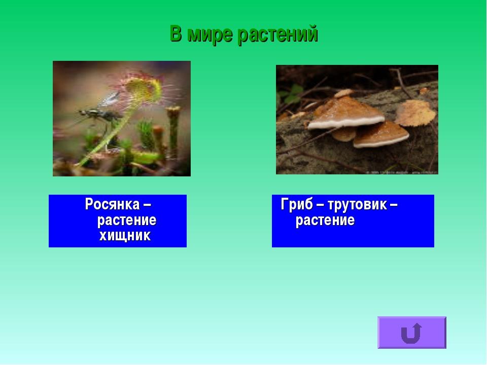В мире растений Росянка – растение хищник Гриб – трутовик – растение