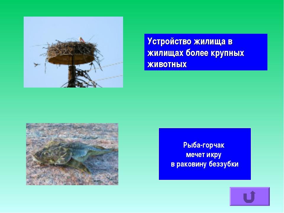 Устройство жилища в жилищах более крупных животных Рыба-горчак мечет икру в р...
