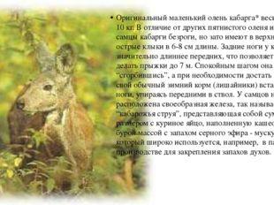 Оригинальный маленький олень кабарга* весит всего до 10 кг. В отличие от друг