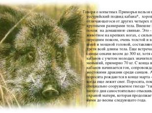 Говоря о копытных Приморья нельзя не упомянуть уссурийский подвид кабана*, х