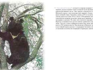 Гималайский медведь*, которого в народе называют то белогрудым, то черным,