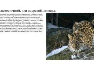 Дальневосточный, или амурский, леопард. Еще один хищник, находящийся под угро