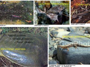 Амурская долгохвостка Мягкотелая черепаха Сибирский углозуб Дальневосточная л