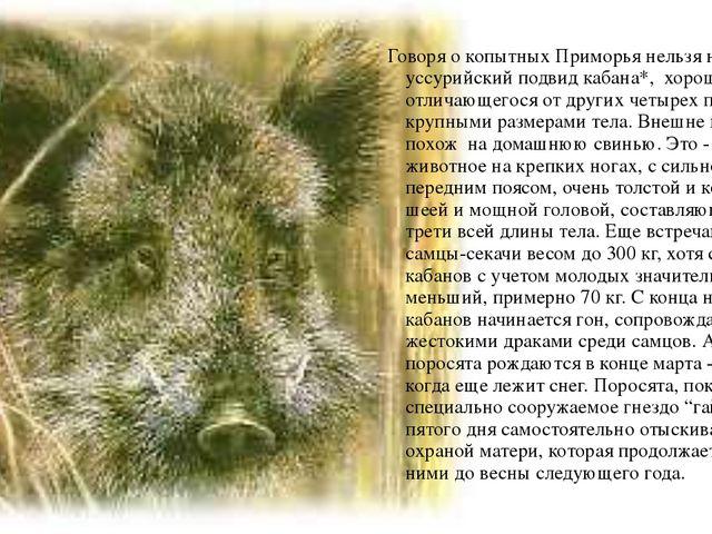 Говоря о копытных Приморья нельзя не упомянуть уссурийский подвид кабана*, х...