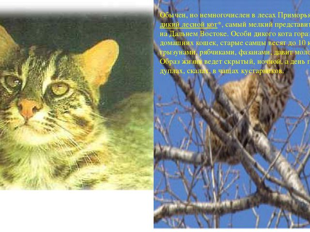 Обычен, но немногочислен в лесах Приморьядикий лесной кот*, самый мелкий...