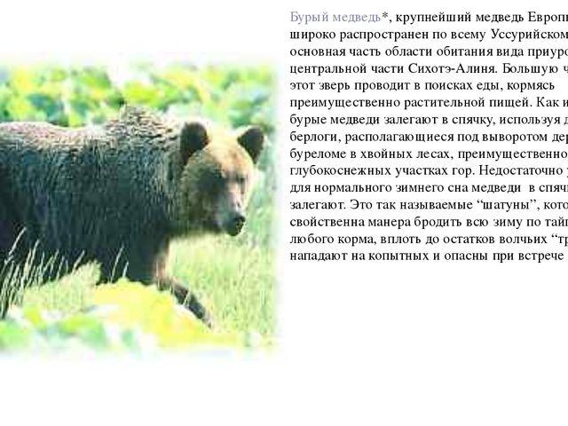 Бурый медведь*, крупнейший медведь Европы и Азии, широко распространен по все...