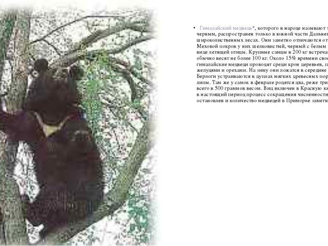 Гималайский медведь*, которого в народе называют то белогрудым, то черным,...