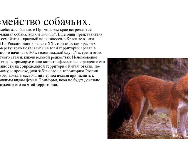 Семейство собачьих. Из семейства собачьих в Приморском крае встречаются еното...