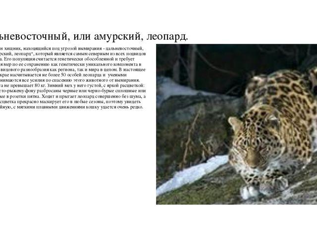 Дальневосточный, или амурский, леопард. Еще один хищник, находящийся под угро...