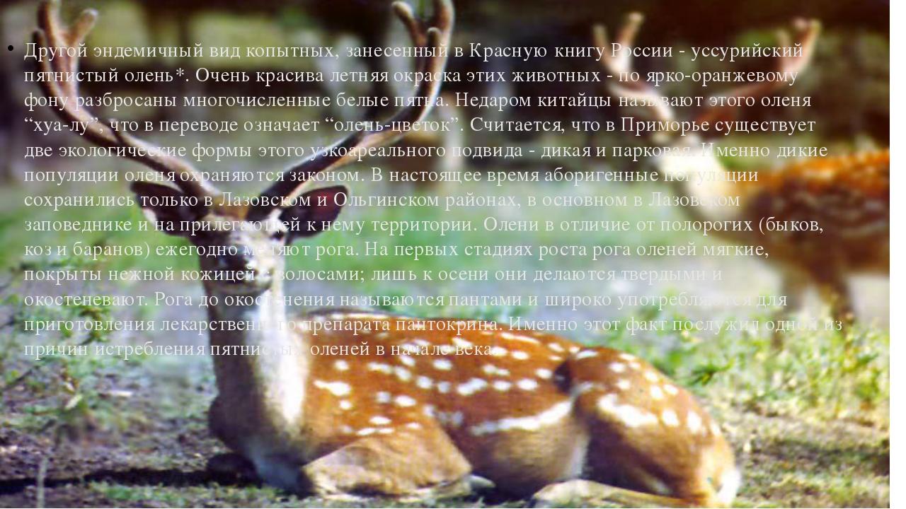 Другой эндемичный вид копытных, занесенный в Красную книгу России - уссурийск...