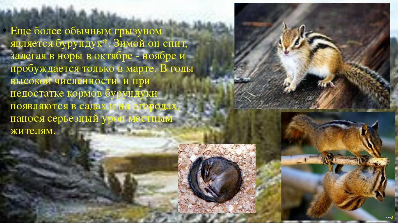 Бурундук.  Еще более обычным грызуном является бурундук*. Зимой он спит, зал...