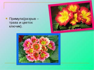 Примула(разрыв – трава и цветок ключик).