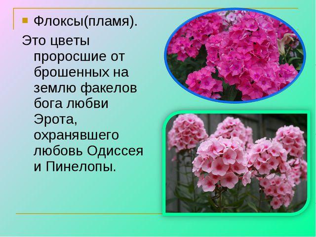 Флоксы(пламя). Это цветы проросшие от брошенных на землю факелов бога любви Э...