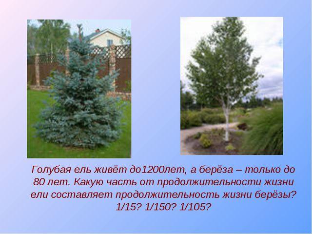 Голубая ель живёт до1200лет, а берёза – только до 80 лет. Какую часть от прод...