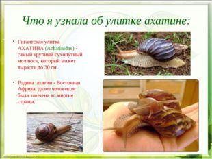 Что я узнала об улитке ахатине: Гигантская улитка АХАТИНА (Achatinidae) - сам