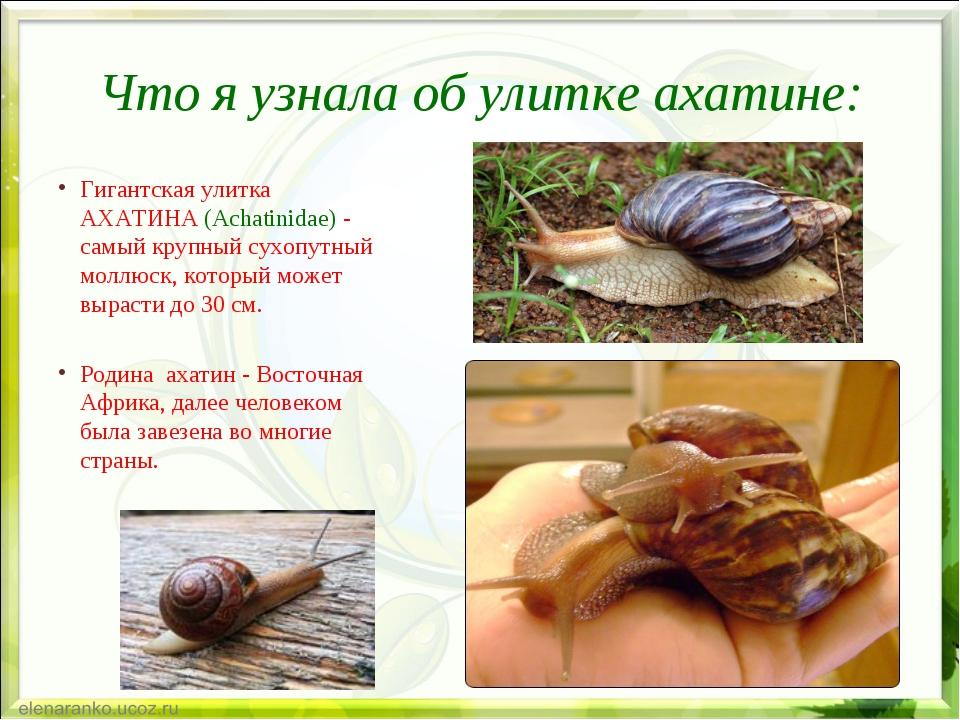 Что я узнала об улитке ахатине: Гигантская улитка АХАТИНА (Achatinidae) - сам...