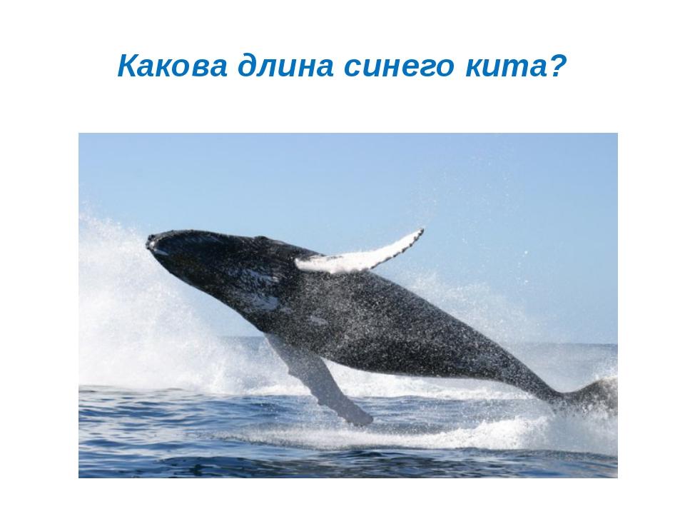Какова длина синего кита?