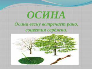 ОСИНА Осина весну встречает рано, соцветия серёжки.